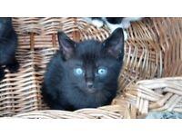 Black boy kitten