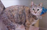 "Adult Female Cat - Domestic Short Hair: ""Lacey"""