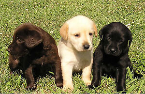Looking for small Labrador puppy FREE