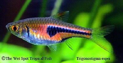 "(10) .5-1"" Pork Chop Rasbora WILD Trigonostigma espei Live Freshwater Tropical"
