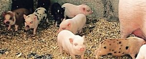 PET MINI PIGS - Only 3 Left London Ontario image 5