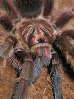 "Breeding project ""Haitian brown"" Phormictopus cancerides"