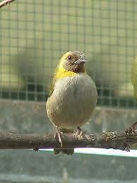 WANTED. Cuban Finch Hen. South Lake Cockburn Area Preview