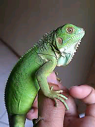 Iguanas, fire skinks, uromastyx, water dragons and more...