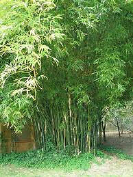 3 Plants - Green Hedge Bamboo - Clumping, Mature, Field Divisions, Not Pot Grown on Rummage