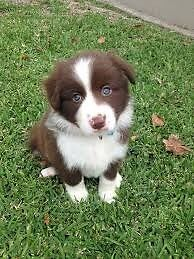Border Collie puppy wanted (Long-haired) Moree Moree Plains Preview