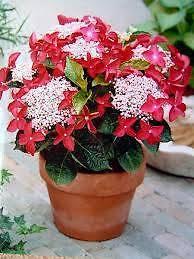 Hydrangea Strawberries & Cream +1000s of great plants@goodprices Camillo Armadale Area Preview