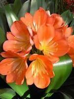 Amaryllis - Belle plante mature