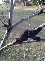 BLACK KNOT PRUNING BY YOUR TREE DOCTOR
