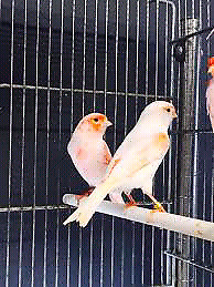 Pair of red mosic canaries
