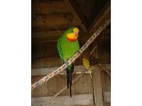 barraband parrot