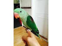 stunning baby alexandrine parrots 14 weeks old males and females with hatching certificates