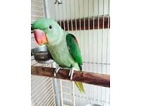 baby alexandrine parrots 14 weeks old males and females with hatching certificates