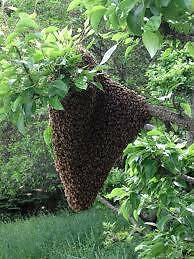 FREE BEE SWARM REMOVAL Knoxfield Knox Area Preview