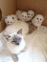 RAGDOLL KITTENS :- For Those Whom Only Expect The Best !! Labrador Gold Coast City Preview