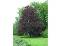 Copper beech trees