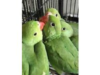 baby green ringneck parrots 12 weeks old males and females with hatching certificates