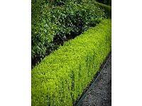 Boxwood hedging