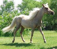 AMHR Yearling  FILLY....  Palomino !!!!!