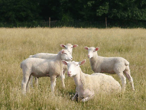 looking for Rideau Arcott   ewes