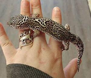 Gecko léopard mâle mack snow