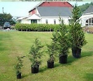 CEDAR TREES FOR SALE THREE YEAR WARRANTY NO DELIVERY FEE