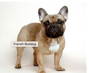 I am looking for a French Bull Dog