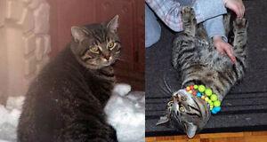 Perdu un chat tigré a blainville secteur 84e avenue est en 2012