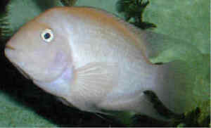 2 MALE WHITE ALBINO CONVICT  CICHLID FOR SALE