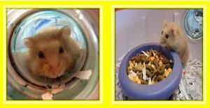 "Adult Female Small & Furry - Hamster: ""Maple & Brown Sugar"""