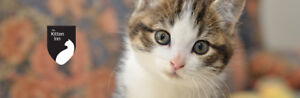 Domestic Kitten With Specific Colouring