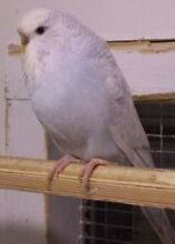Lost budgie! !!! Girrawheen Wanneroo Area Preview
