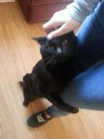 "Young Male Cat - Domestic Short Hair-black: ""Dancer"""