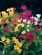 Wunderblume Samen