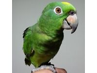 Beautiful Tame Young Nape Amazon Hand Reared Parrot