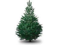 Premium Nordmann Fir Real Christmas Trees. 3ft - 8ft. From £30.