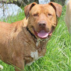 "Adult Male Dog - Mastiff-Rhodesian Ridgeback: ""Max"""
