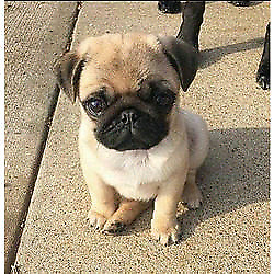 Pug or similar doggie wanted