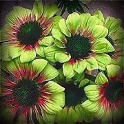Coneflower Seeds