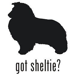 Looking for a Sheltie