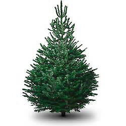 last few left nordmann fir christmas trees reduced to clear
