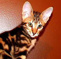 Savannah Kitten - Mystique - Ready to go today