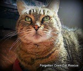 "Senior Female Cat - Domestic Short Hair: ""Holly(Bonded to J.J.)"""