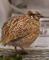 Quail Young or Old