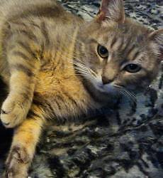 "Adult Female Cat - Tabby (Gray): ""Lily"""