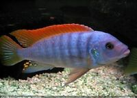 FISH - RED TOP ICE BLUE MBUNA CICHLIDS