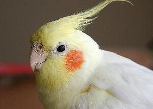 ❤❤ Extremely Friendly COCKATIEL Babies With CAGE ❤❤ Kitchener / Waterloo Kitchener Area image 7