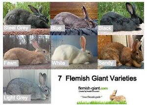 LF: A Couple unrelated Female Flemish Giant Bunnies