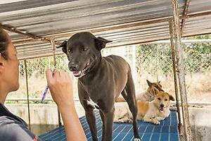 "Adult Female Dog - Mixed Breed-Labrador Retriever: ""Loopa"""