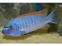 Thumbi west cichlid